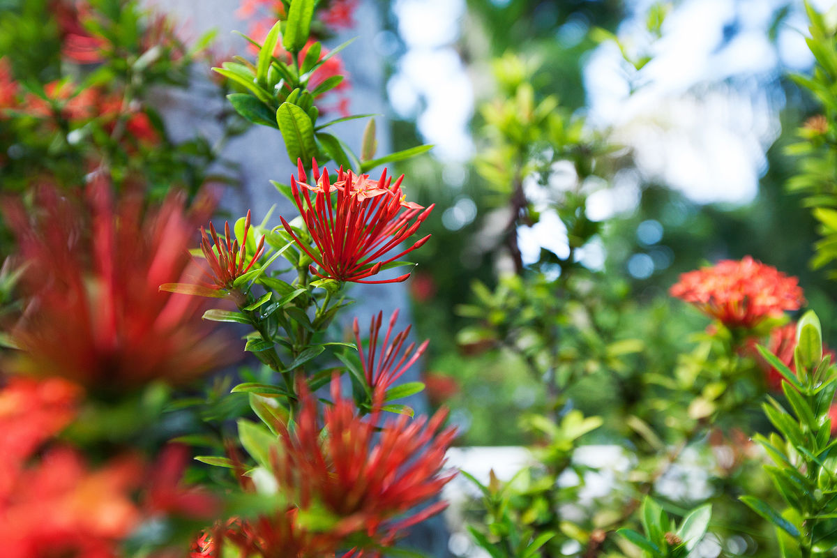 JM251 Jamaican Flora