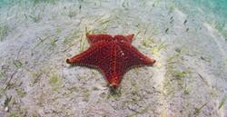 Bahamian starfish