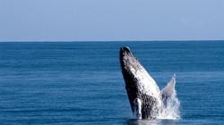 Humpback Whales, Samana