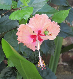 antigue-hibiscus-1.jpg