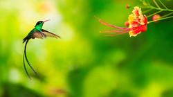 Doctor Bird (Jamaican Hummingbird)