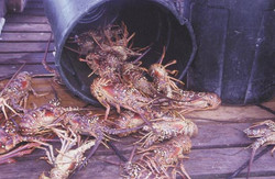 Anegada Lobster - the BEST