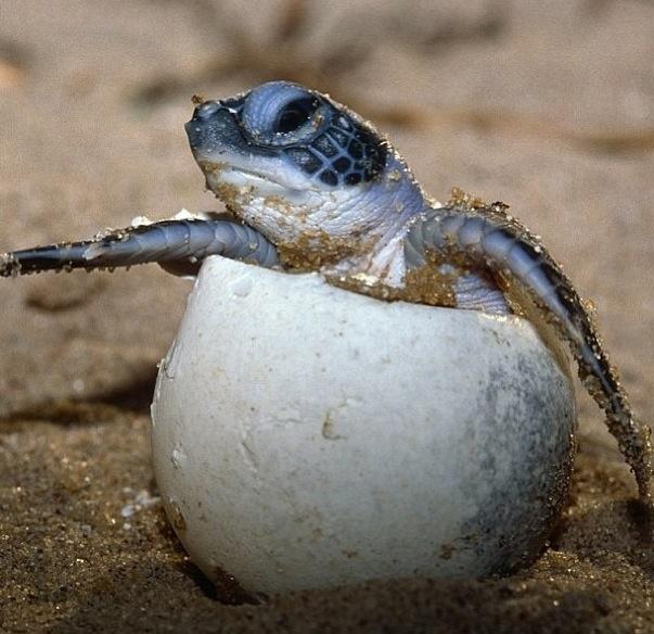 Baby Sea Turtle Emerging