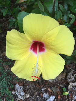 Jamaican Hibiscus