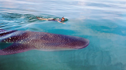 Swim with Whale Sharks, Cancun