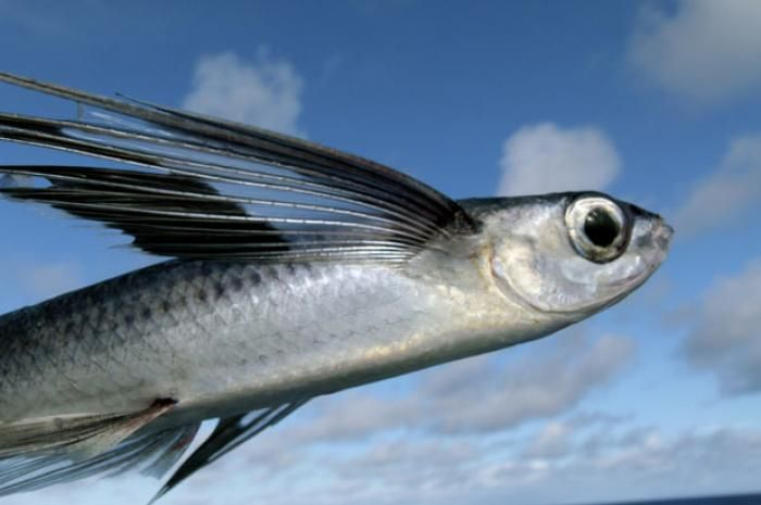 Flying Fish in FLight