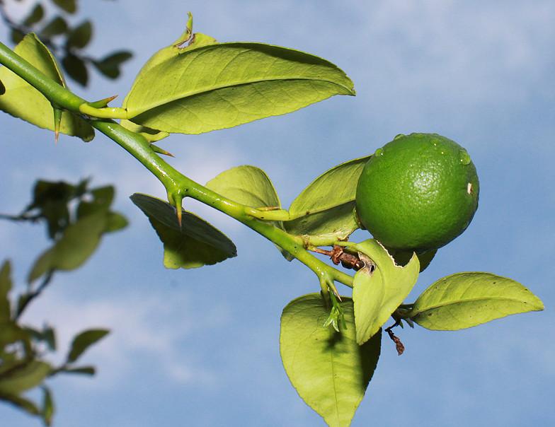 JM236 Lime Tree