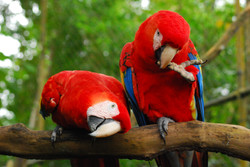Red Macaws, Belize Zoo