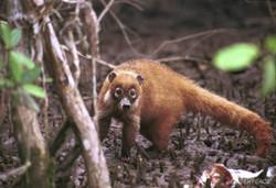 Bajan Raccoon