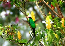 Jamaica Doctor Bird