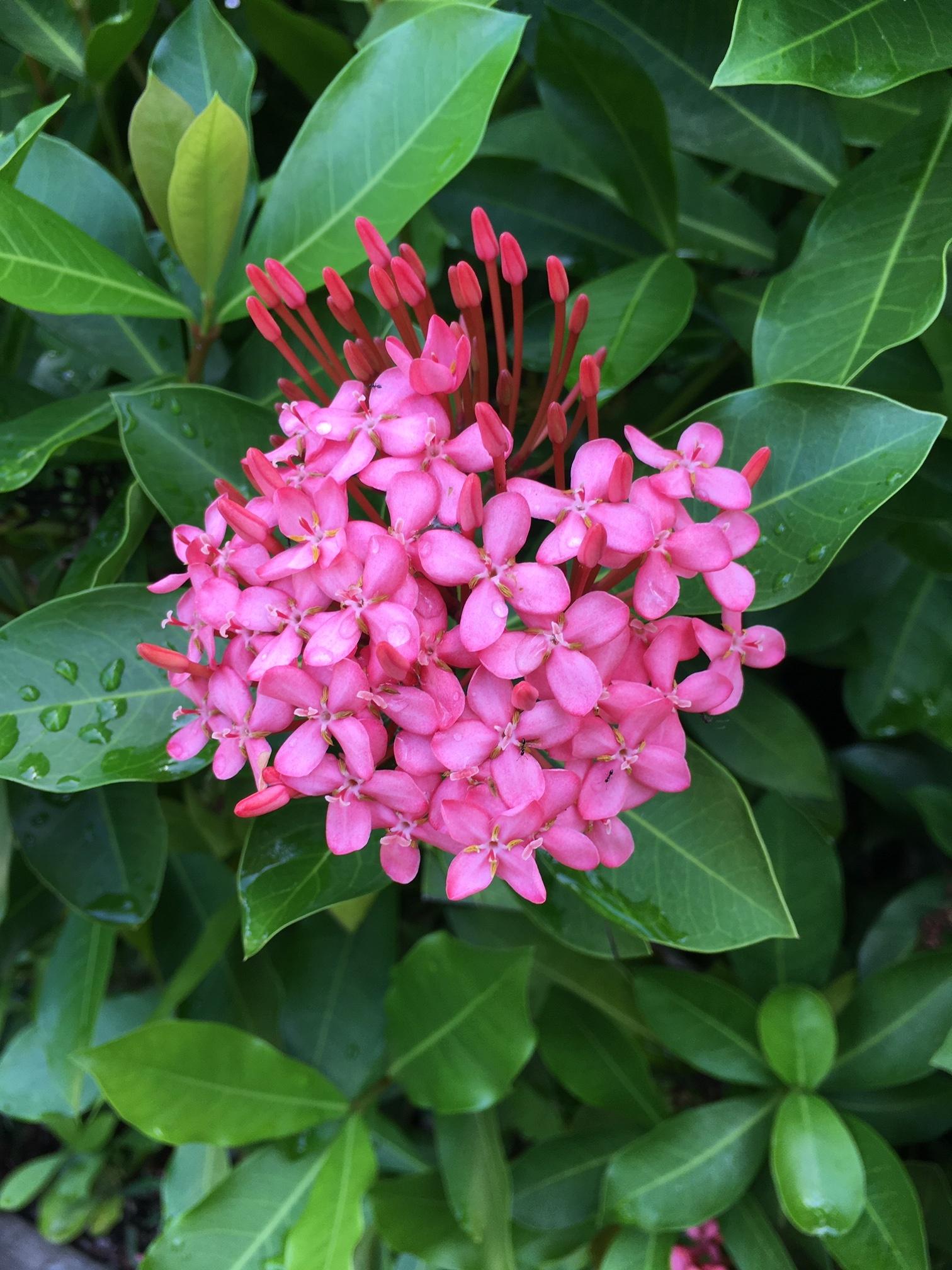 Jamaican Flora
