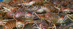 Barbuda Lobster