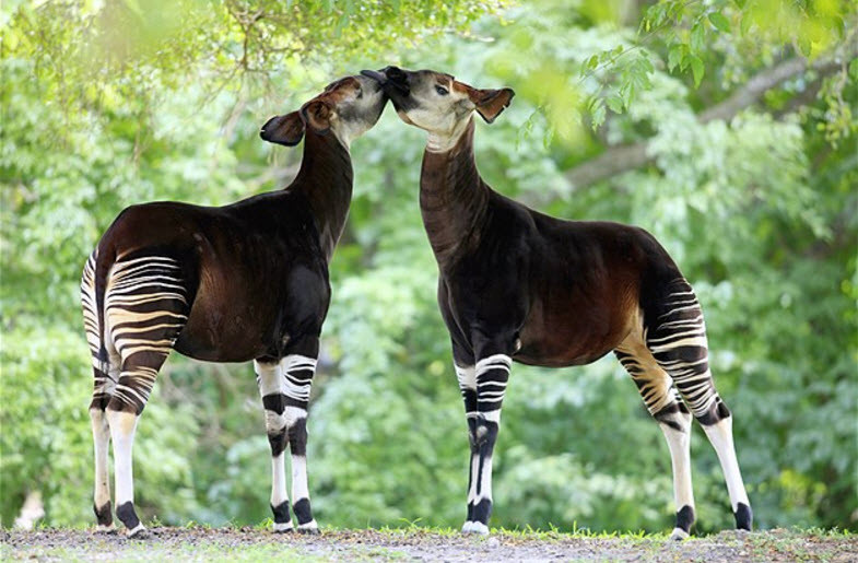 Okapis, relatives of the giraffe.