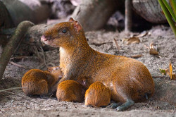 Agouti with Young