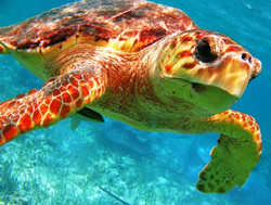 Turtle at Hol Chan Reef - Belize