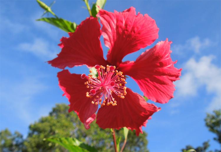 Antigua Hibiscus