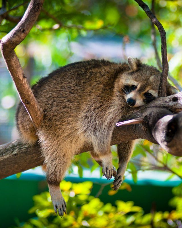 Raccoon, Sint Maarten Zoo