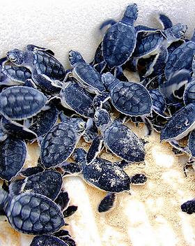 baby-sea-turtles.jpg