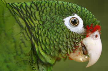 Endangered Puerto Rican Parrot