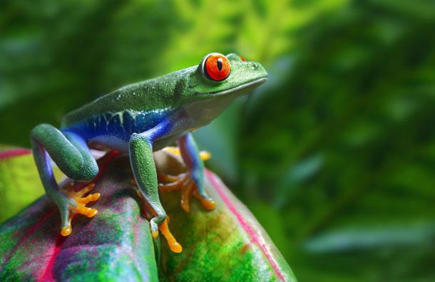 Amazing Jungle Frog