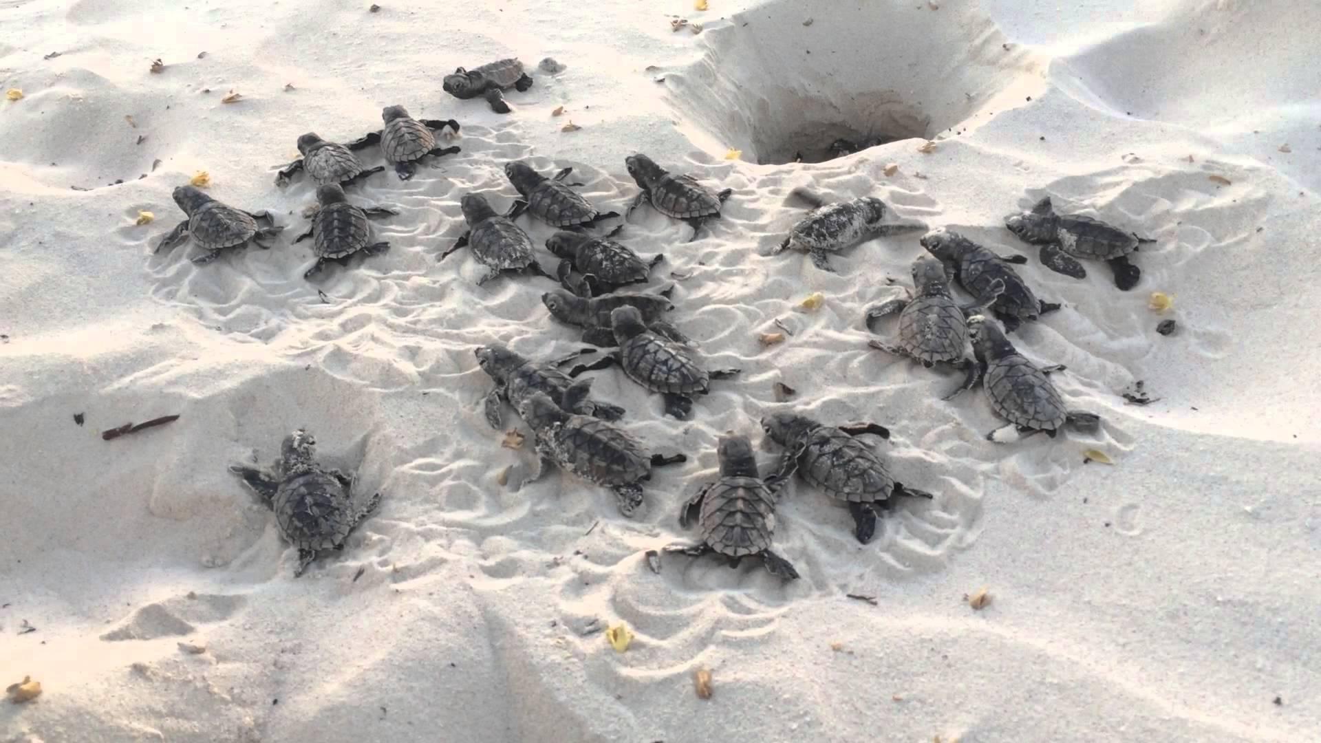 Bajan Baby Turtles