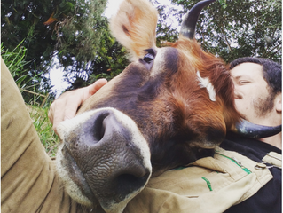 Cow cuddling has become a thing for lonely hearts in the pandemic