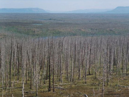 Tree rings show scale of Arctic pollution is worse than previously thought