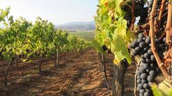 Vineyards in Casablanca Valley