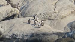 Penguins on Cachagua´s Island