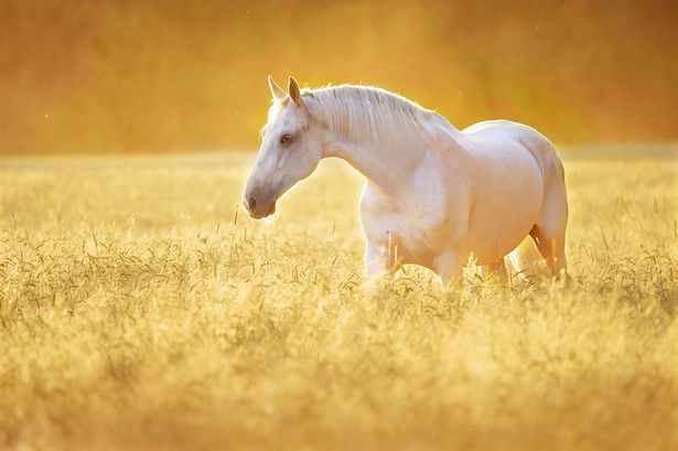 White Orlov trotter horse in rye, golden