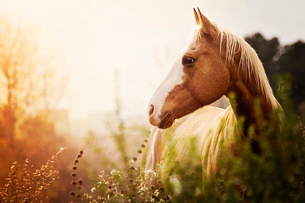 Paint Mare at Dusk in Field.jpg