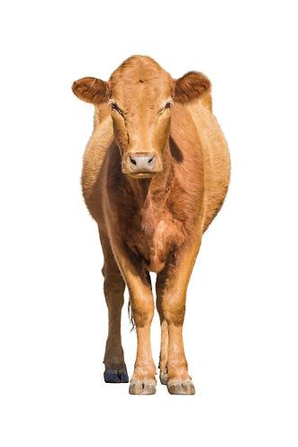 CowCutout