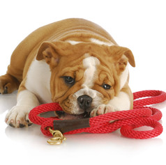 Dog Collars, Harnesses, Leads and Tags