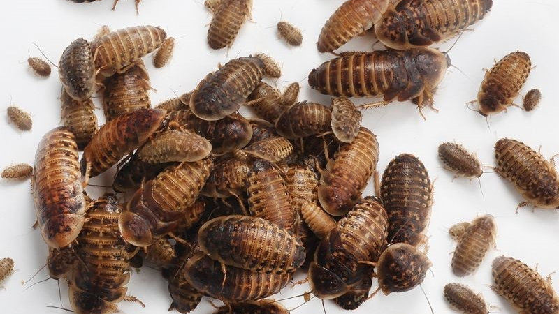Assorted sized Dubia Roachs (Blaptica dubia) 50Count