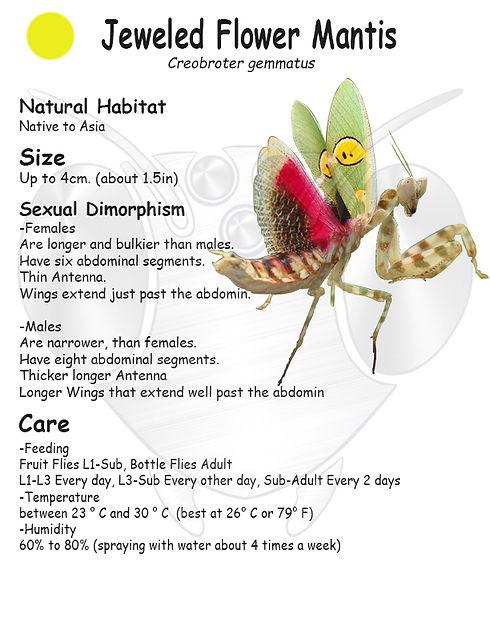 Jeweled Flower Mantis care sheet.jpg