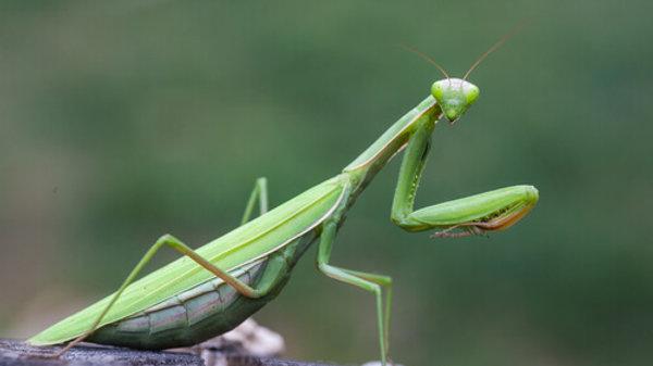 European Mantis(Mantis religiosa)