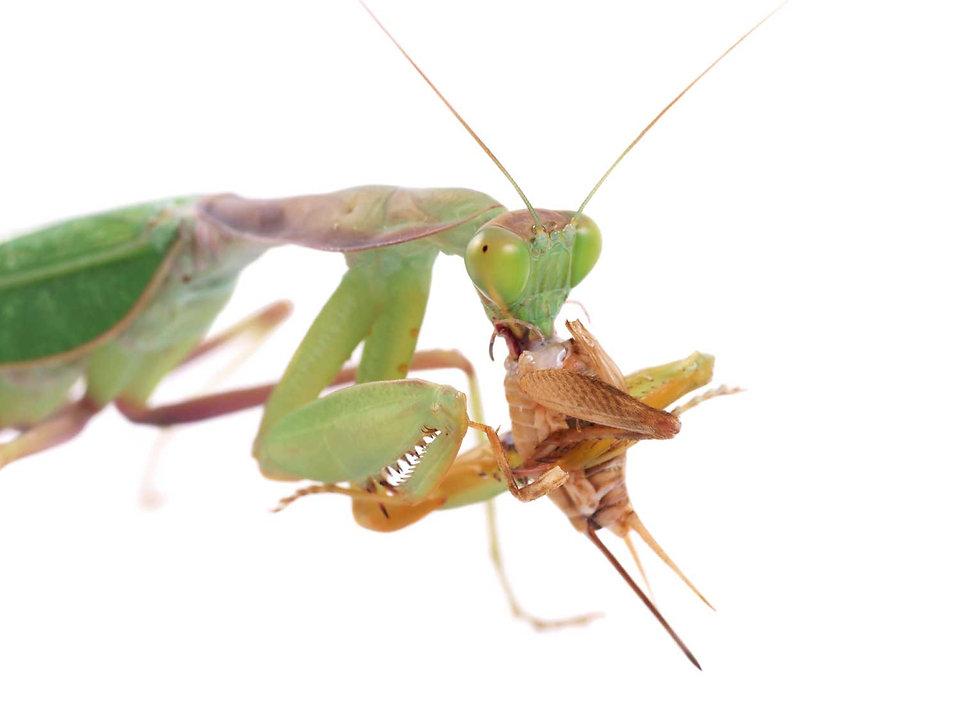mantis-eating-critter.jpg