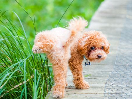 Dog Urinary Tract Infections: Advancements in Clinical Diagnostics
