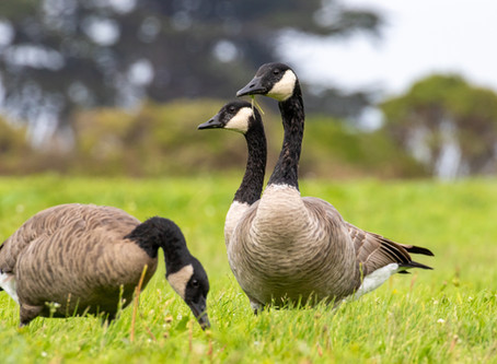 How Flies & Geese May Help the Fight Against Antibiotic Resistance