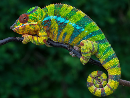 Three Bacterial Infections Your Chameleon May Hide From You