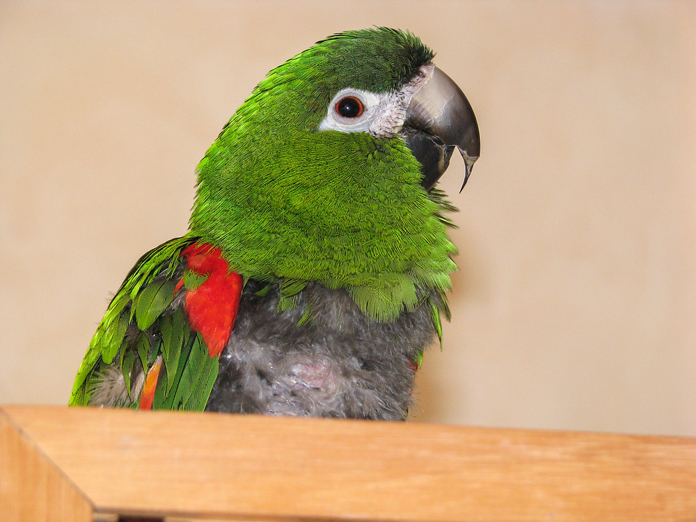 Avian Chlamydiosis: Hahn's Macaw Parrot With Avian Chlamydiosis