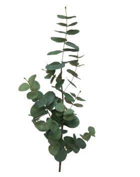 Eucalptus branch