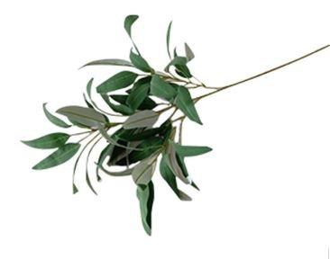 Eucalyptus Long leaf