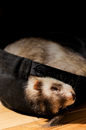 Ferret took my baseball cap