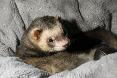 Albert the ferret 5