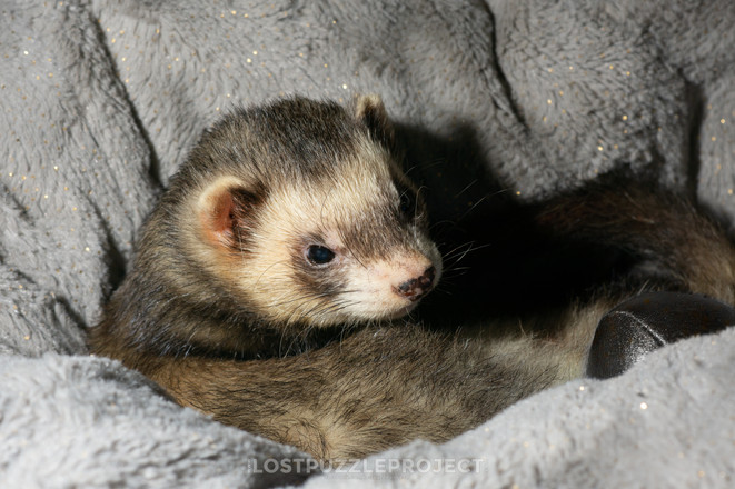 Albert the ferret 5