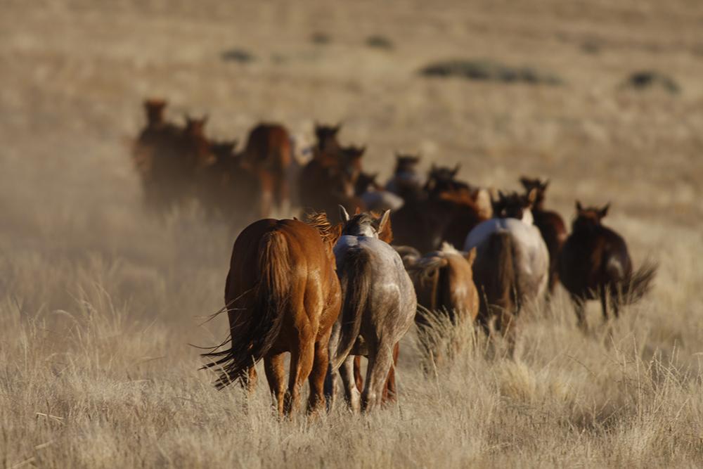 Quarter Horses Namibia