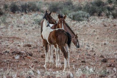 Are you at home in a western saddle? Then come to Ranch Koiimasis in Namibia and help us with horse training, cattle work and accompany our horse safaris. Bist du in Westernsattel Zuhause? Dann komm zur Ranch Koiimasis nach Namibia und unterstütze uns beim Pferdetraining, der Rinderarbeit und begleite unsere Pferde-Safaris.