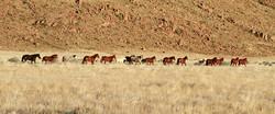 Panorama herd shot