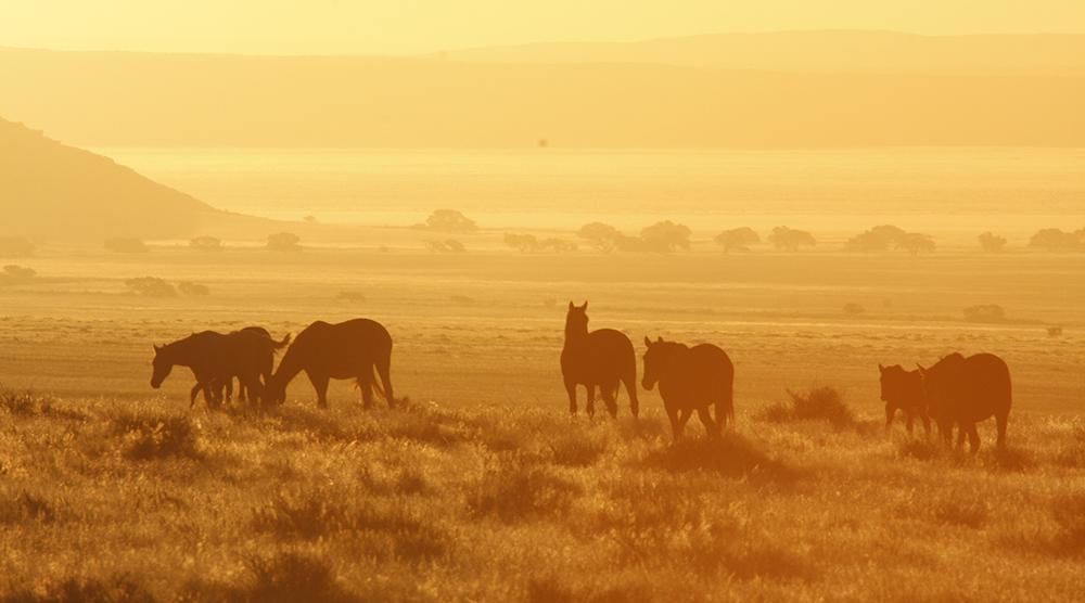 Koiimasis horse sundowner
